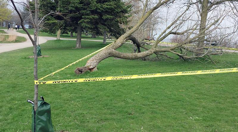 Tree fell in wind at Ashbridges