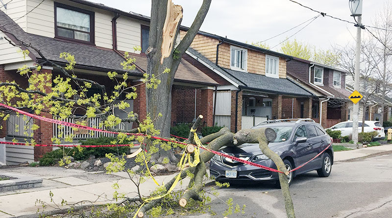 Bingham tree brought down by wind