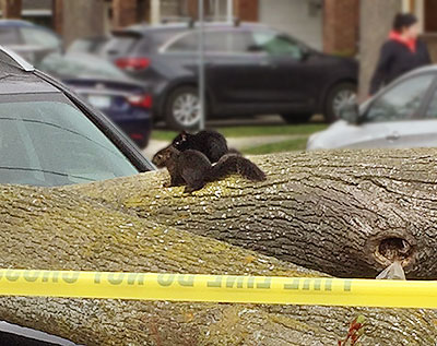 Squirrels on tree brought down by wind