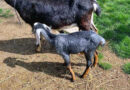 goat stolen from Riverdale Farm